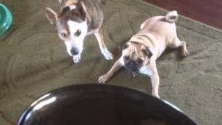 Pug Scared Of Lamp