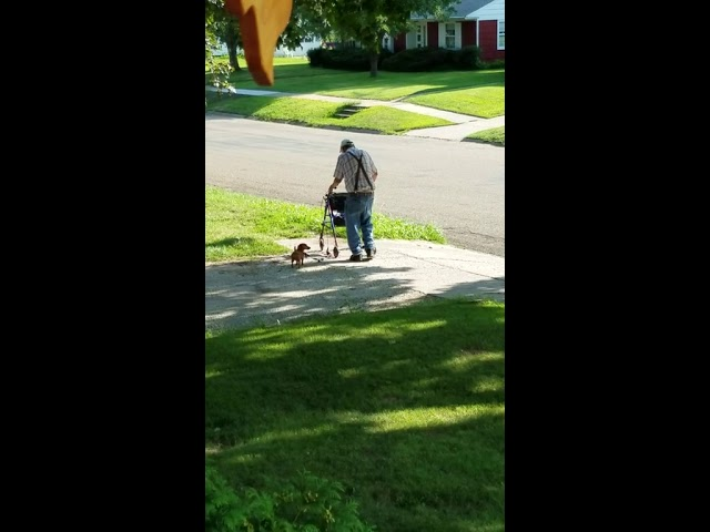 This old guy walks his puppy past my house every evening #aww