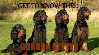 Get to Know the Gordon Setter