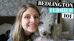 BEDLINGTON TERRIER DOGS 101 - PROS AND CONS