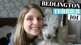 BEDLINGTON TERRIER DOGS 101  PROS AND CONS