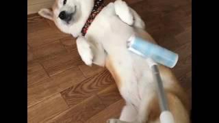"Как правильно гладить собаку / shiba inu / akita inu"""