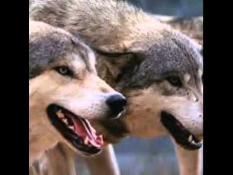 akulah serigala aku memang ada (nine ball)