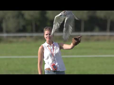 First British Falcon Races at Vowley - Short Highlights 2019