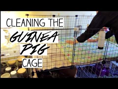 Cleaning the Guinea Pig Cage!