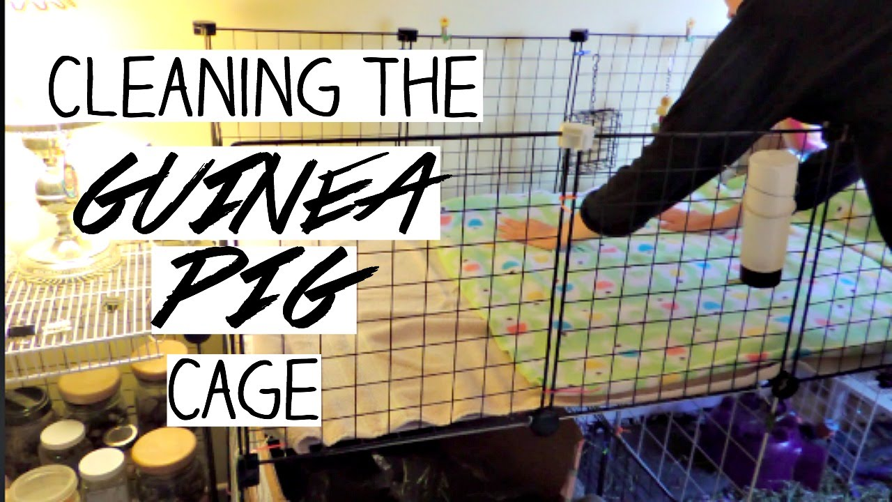 Cleaning the guinea pig cage youtube for How to clean guinea pig cages