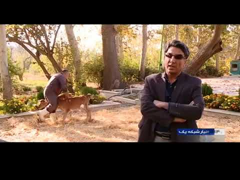 Iran New method for Calf interbreeding, Avicenna Research Institute روش نوين اصلاح نژاد گاو