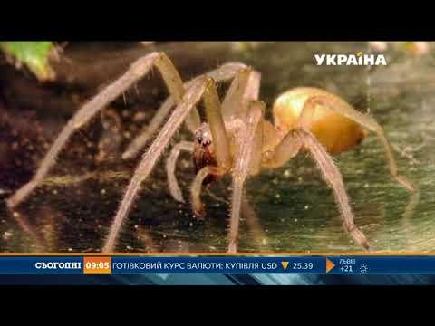На Дніпропетровщині нашестя отруйних павуків