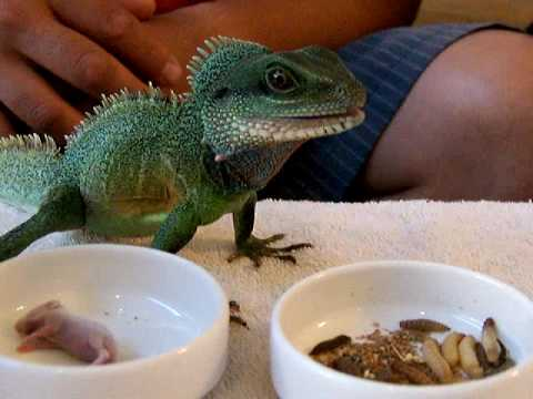 Chinese water dragon reptile cuisine youtube for Water lizard fish