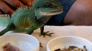 Chinese Water Dragon...Reptile Cuisine