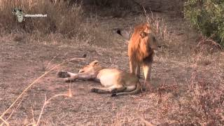 Mating Lions in Kruger