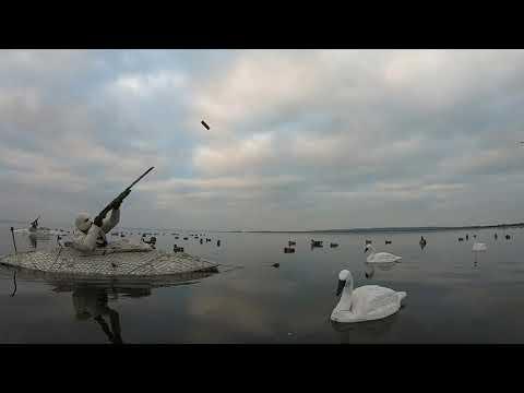 Pramjagt Med Duckhouse.dk - Pibeænder - Wigeons - Layout Boat Duck Hunting In Denmark