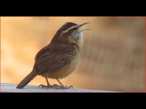 Chim hồng tước Carolina    -    Carolina Wren