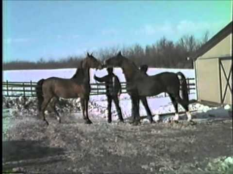 Morgan Horse Family--Entertainer, Pleasant Lady, Fairfield Fortune