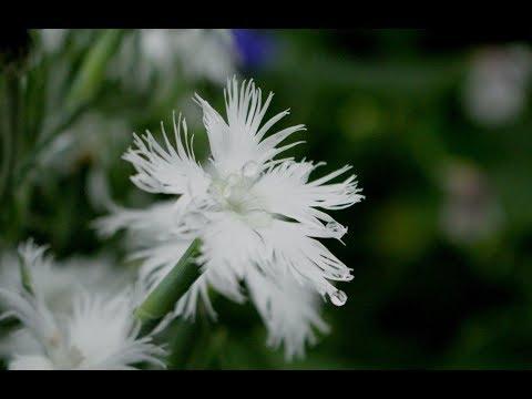 小さな窓の花ごよみ 631 空のしずく♪ 雨のミロンガ:つのだたかし♪