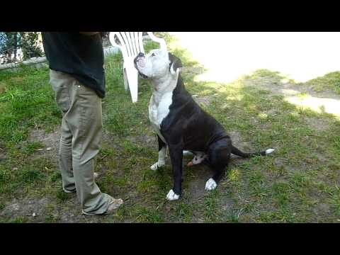 Dog Training: Obedience commands and American Bulldog, Bubba