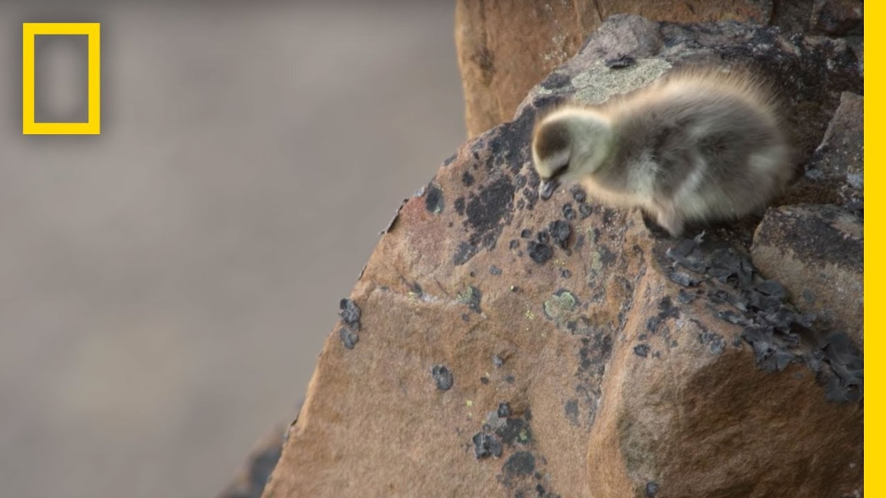 Download Arctic Geese Chicks Jump Off Cliff to Survive   Hostile Planet
