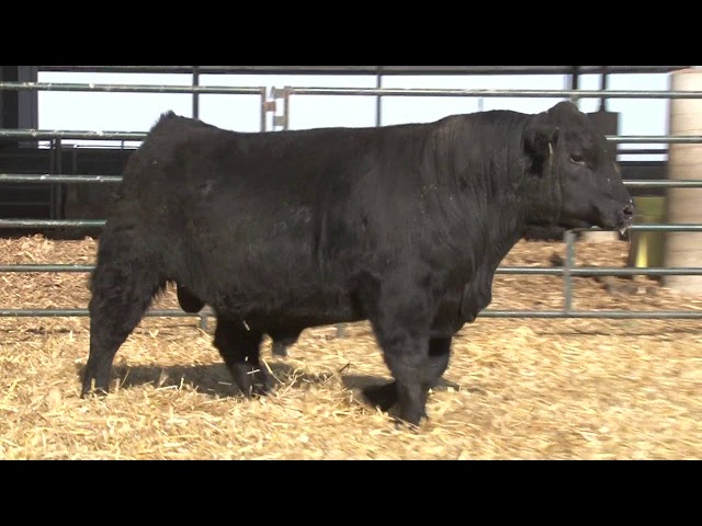 Schiefelbein Angus Farms Lot 19