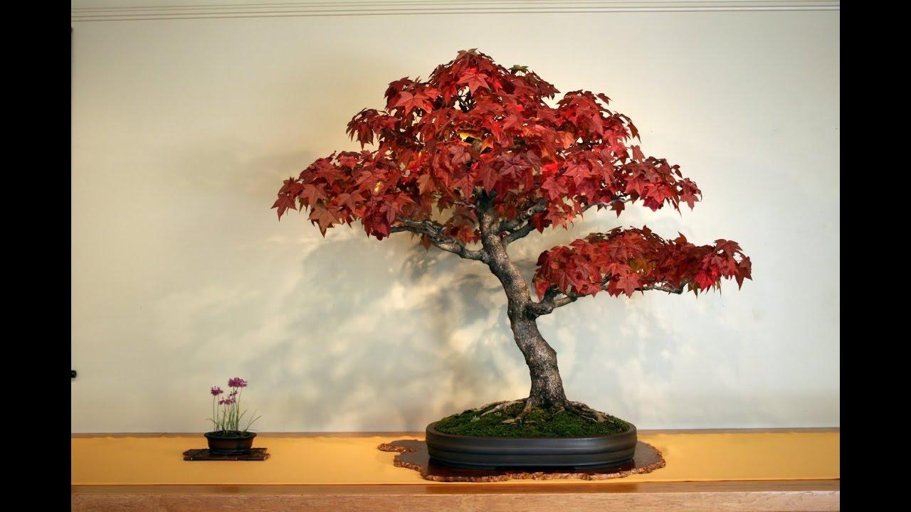 Pruning Or Training Japanese Maple Bonsai Youtube Tree Wiring Video
