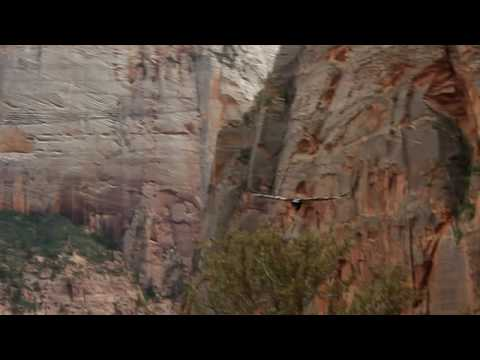 Almost hit by a Condor at Zion NP