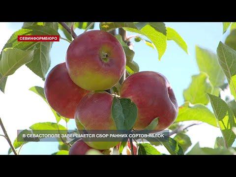В Севастополе завершают сбор ранних сортов яблок
