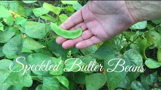 HD How to Harvest Speckled Butter Beans
