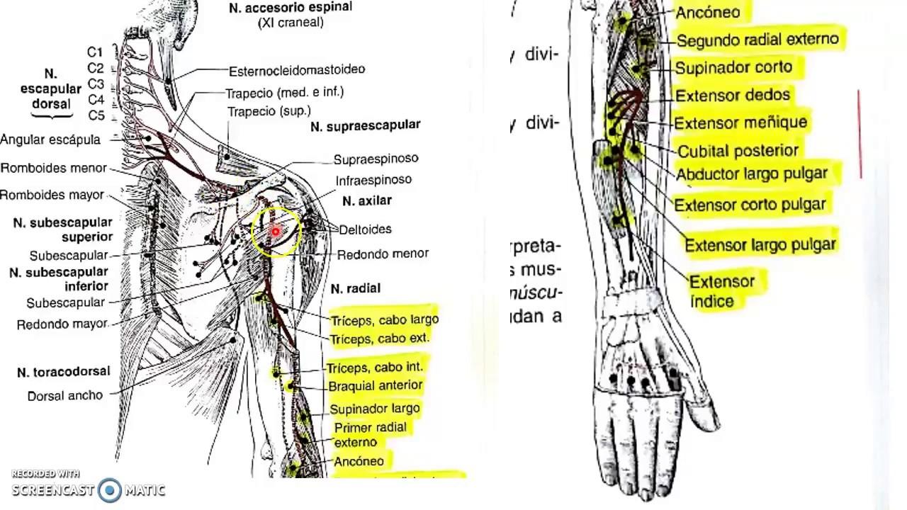 Recorrido de nervios periféricos. - YouTube