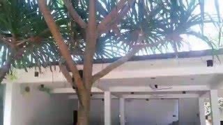 Коггала - пурпурнолицый лангур