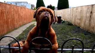 Dogue De Bordeaux Age 2