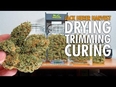 Drying Trimming Curing Cannabis - Jack Herer Marijuana Harvest