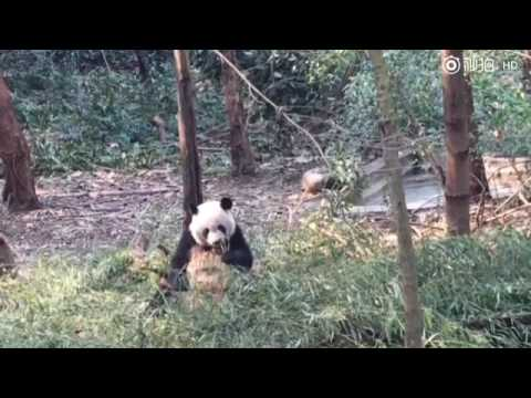 Mei Lun and Mei Huan at Chengdu Base (compilation)