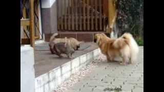 Tibet Spaniel Welpen Von Naisha Und Finni 2013