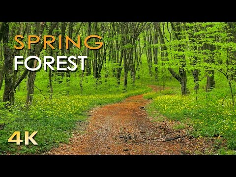 4K Spring Forest - Blackbird Song - Bird Singing/ Chirping - Ultra HD Relaxing Nature Video & Sounds