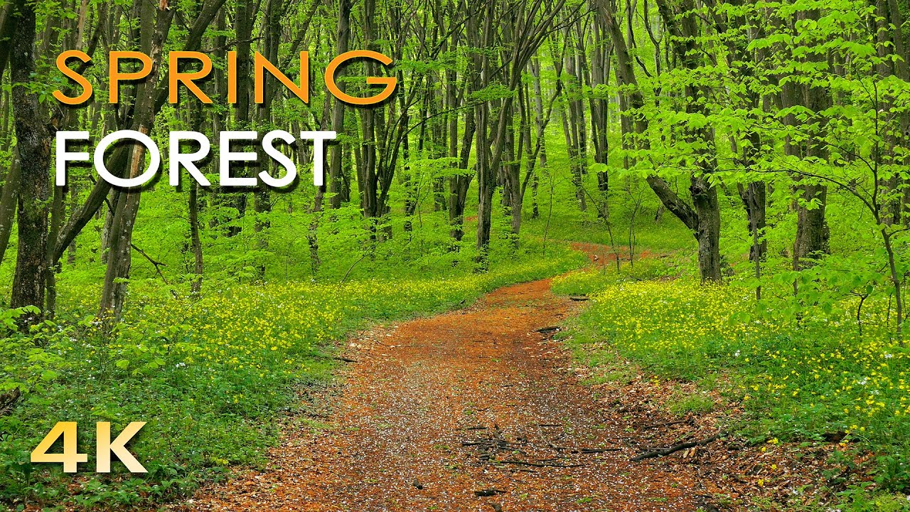 4K Spring Forest   Blackbird Song   Bird Singing/ Chirping   Ultra HD  Relaxing Nature Video U0026 Sounds   YouTube
