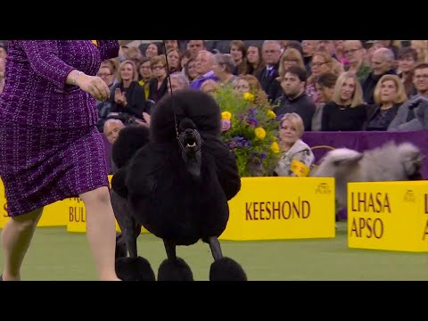 'Siba' the standard poodle wins the Non-Sporting title at 2020 Westminster Dog Show