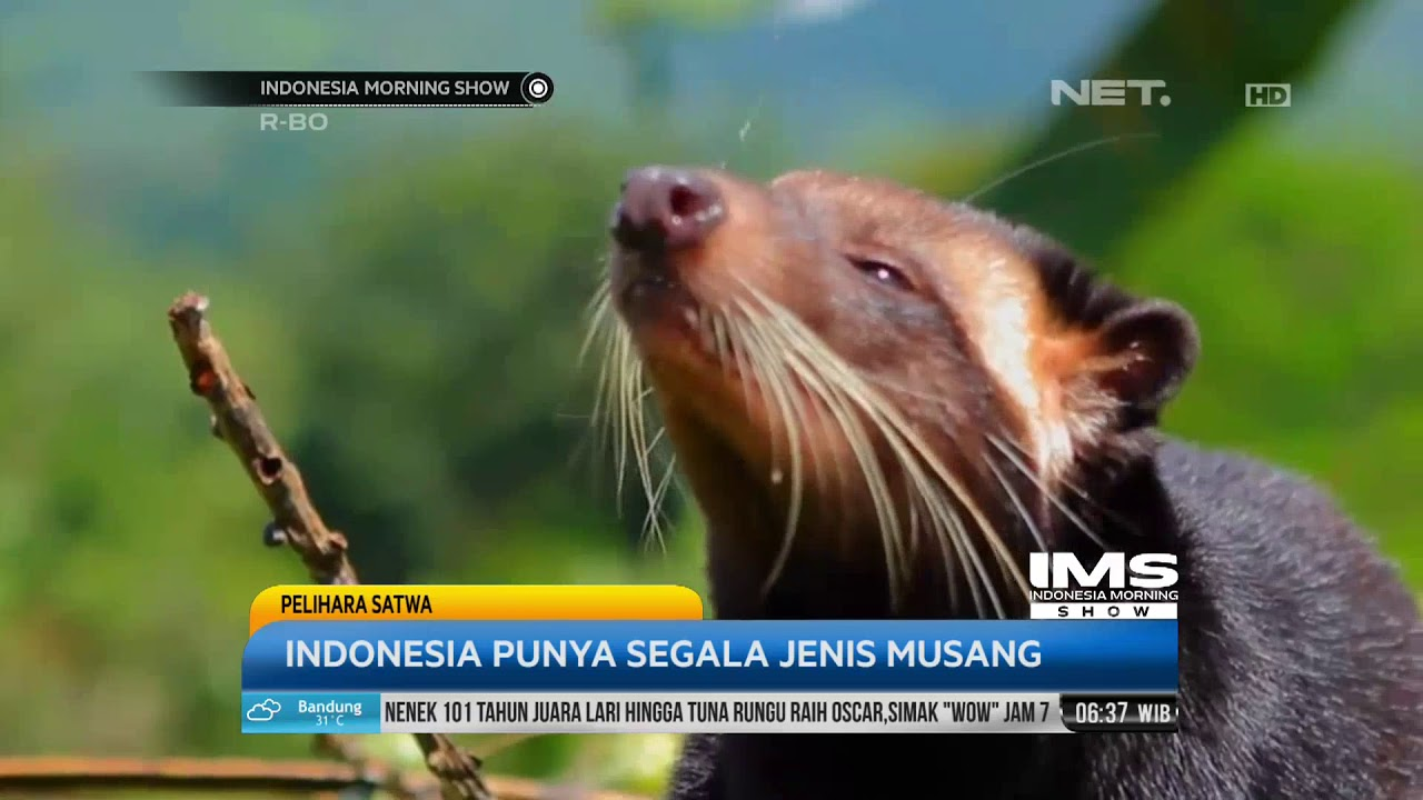 Indonesia Pemilik Jenis Musang Terbanyak Di Dunia By Indonesia Morning Show Net
