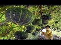Asian Pumpkin Farming and Harvesting - Amazing Japan Agriculture Farm