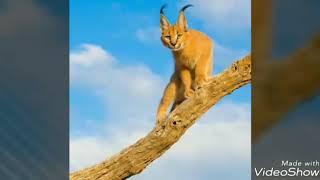 Каракал, родственник диких кошек.
