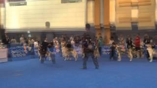 Group 5 Sp : Siberian Husky Bob Under Judge Mr.torchai Juntkum (thailand) On Feb 15'15