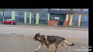 Gambar cover Shepsky running (slow motion)