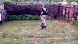 Breeze Our English Cocker Spaniel Puppy: Walking Training