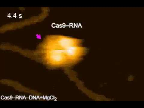 Protein MAGIC Single-molecule movie of DNA search and cleavage by CRISPR-Cas9.