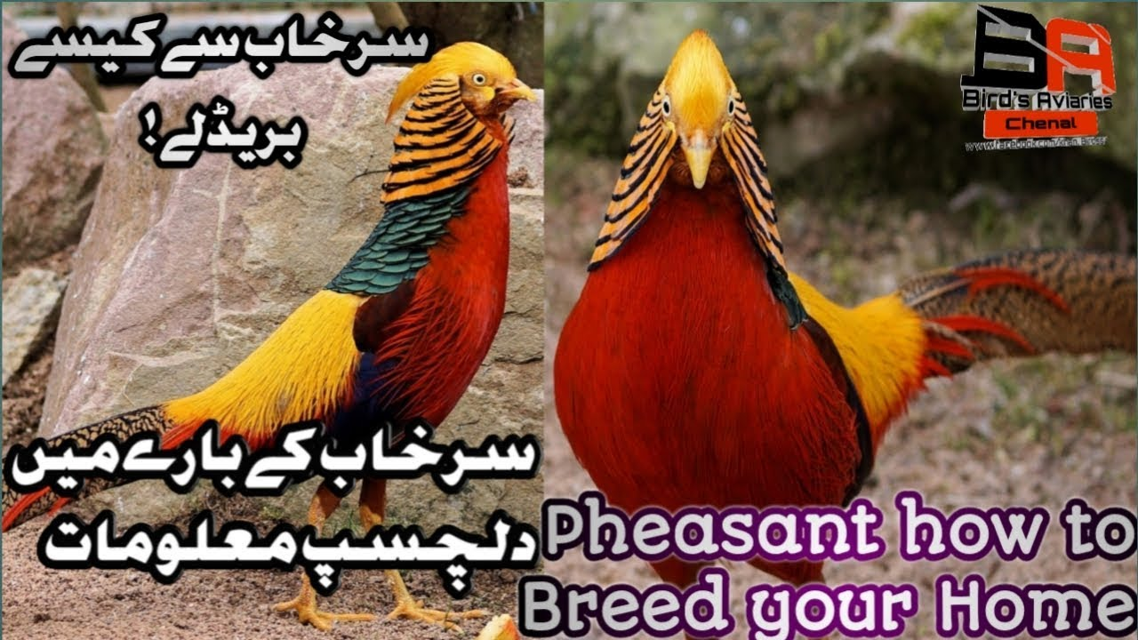 How to breed at home Red Golde pheasant urdu Hind Pheasant eggs hatching