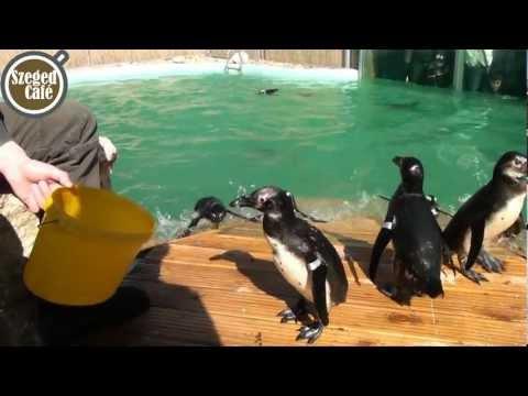 Szeged Pingvinjei a Vadasparkban