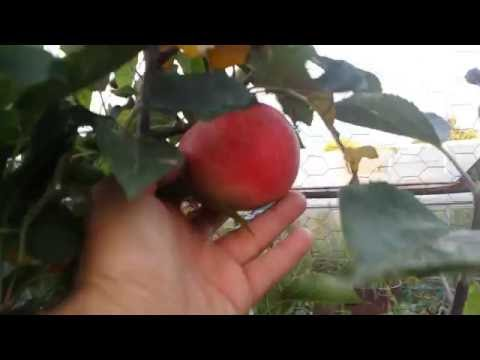 Apple Variety Discovery: Harvest Time
