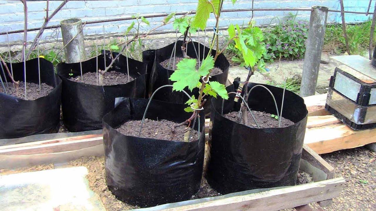 Как размножить виноград. способы размножения винограда.