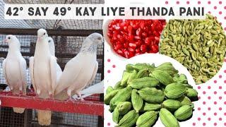 kabootar bazi ki tyari || thanda pani Bazi kay liye || pigeons Lovers