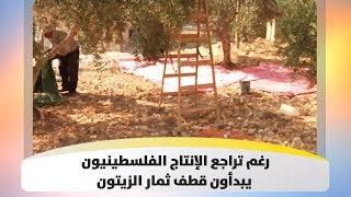 رغم تراجع الإنتاج  الفلسطينيون يبدأون قطف ثمار الزيتون