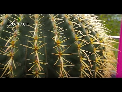 comment entretenir un cactus jardinerie truffaut tv youtube. Black Bedroom Furniture Sets. Home Design Ideas