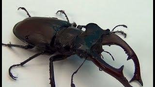 Жук Олень и неизвестное насекомое с клещами
